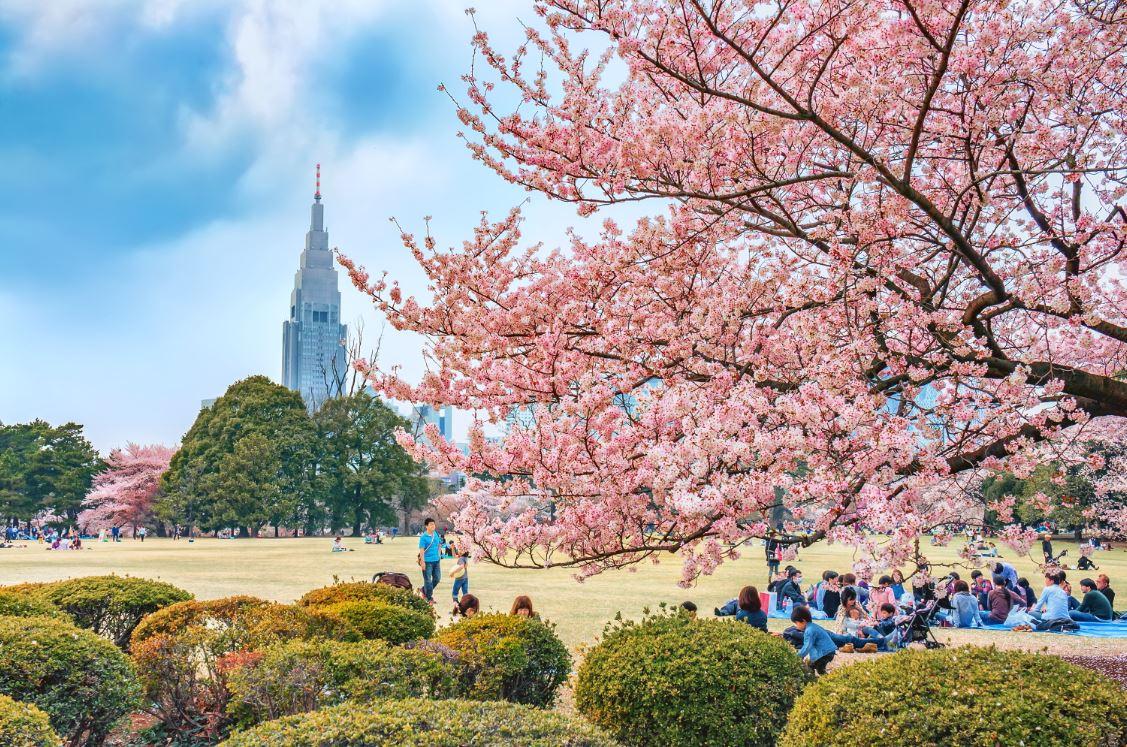Cerejeiras no Jardim Nacional Shinjuku Gyoen - Foto: SenSehi/Shutterstock.com