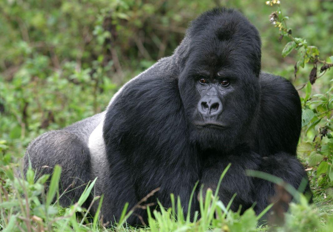 Os gorilas-das-montanhas são uma das espécies mais ameaçadas do planeta