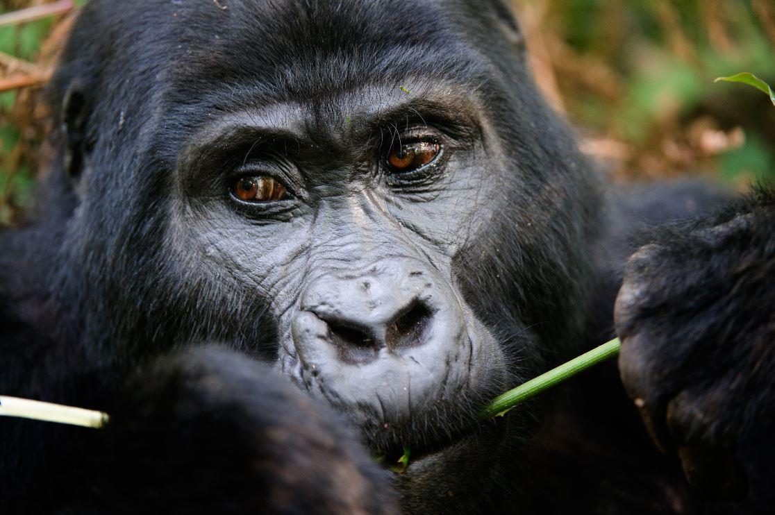 Observar os gorilas-das-montanhas em seu hábitat natural é um privilégio