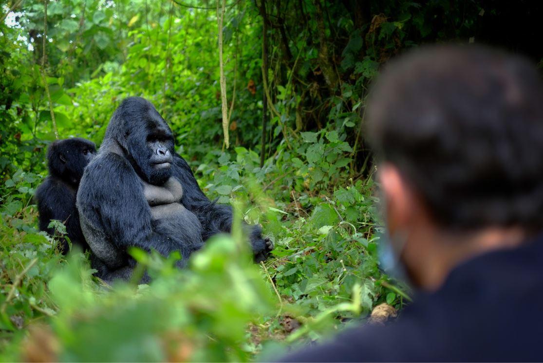 A observação de gorilas acontece bem de pertinho