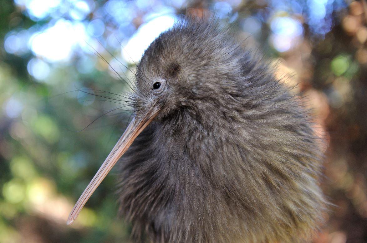 Kiwi, pássaro ameaçado de extinção que só existe na Nova Zelândia